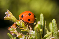 Макрос Ladybug Стоковая Фотография