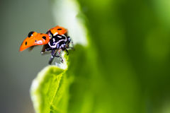 Макрос Ladybug Стоковое фото RF
