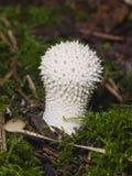 Макрос perlatum Lycoperdon Puffball съестного гриба общий, селективный фокус, отмелый DOF Стоковые Изображения RF