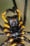 Макрос pilipes Nephila паука Стоковое Изображение