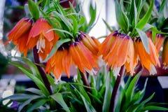 Максимумы Imperialis Rubra Fritillaria Имперское кроны лето сада цветков цветения Стоковая Фотография RF