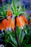 Максимумы Imperialis Rubra Fritillaria Имперское кроны Стоковые Фотографии RF