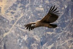Максимум летания кондора вверх над каньоном Colca стоковое изображение rf