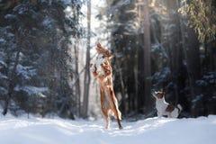Максимум собаки породы Retriever утки Новой Шотландии звоня скача outdoors Стоковое фото RF