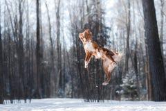 Максимум собаки породы Retriever утки Новой Шотландии звоня скача outdoors Стоковое Изображение RF