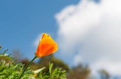 Мак апельсина Калифорнии Стоковая Фотография