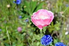 Мак в поле Wildflower Стоковая Фотография RF