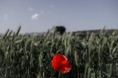 Мак в пшеничном поле Стоковая Фотография