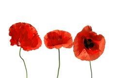Мак декоративных элементов красный красивый цветет на белом изоляте Стоковые Изображения RF