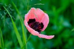 Мак зацветая день field лето sally цветка fireweed сельское Стоковые Фотографии RF
