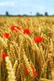 мак зерна поля Стоковое фото RF