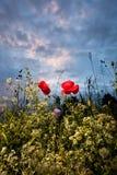 Мак и голубое небо стоковое фото rf