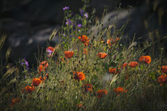 Мак и другие wildflowers Стоковое Изображение