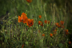 Мак и другие wildflowers Стоковое Фото