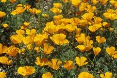 Мак Калифорнии в цветени, Ventura County, CA Стоковая Фотография RF