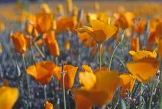 Мак Калифорнии Стоковая Фотография RF