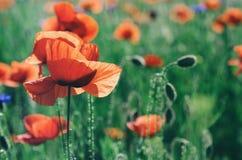 Мак красной весны Стоковое Изображение