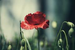 Мак красной весны Стоковая Фотография