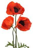Мак 3 красных цветов изолированный на белой предпосылке Стоковое Изображение