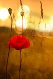 Мак на заходе солнца Стоковые Фото