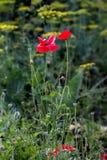 Мак опиумного мака - цветок somniferum Стоковая Фотография