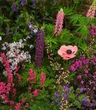 мак пинка сада Стоковые Фотографии RF