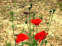 Яркий красный мак отпочковывается цветки n Стоковое Изображение RF