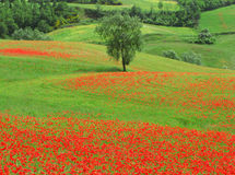 мак полей Стоковое Фото