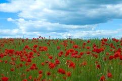 мак поля зеленый Стоковая Фотография