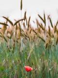 мак поля красный весной, предпосылка пшеничного поля Стоковое Фото