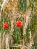 мак поля красный весной, предпосылка пшеничного поля Стоковое Изображение