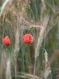 мак поля красный весной, предпосылка пшеничного поля Стоковая Фотография RF