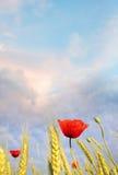 Мак поля против голубого неба. Утро лета Стоковые Изображения