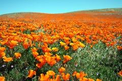 мак поля california Стоковая Фотография