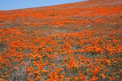 мак поля california Стоковое Фото
