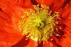 мак померанца цветка Стоковые Фото