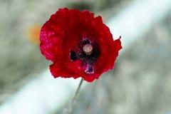 Мак поля цветок и лекарственное растение Стоковое фото RF