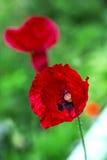 Мак поля цветок и лекарственное растение Стоковое Изображение