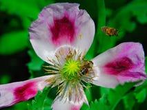 мак пчелы Стоковые Изображения