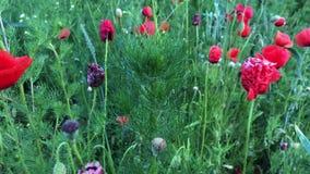 Мак растет на предпосылке зеленой травы Красные wildflowers шевелят внутри ветер сток-видео