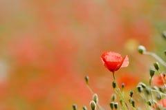 мак цветения Стоковое Изображение