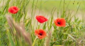 Мак цветет на запачканной предпосылке природы, знамени Стоковые Изображения RF