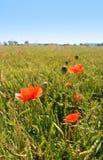 Мак цветет на зеленом поле в солнечном дне Стоковое Фото