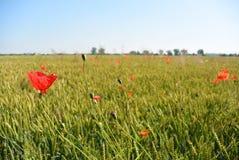 Мак цветет на зеленом поле в солнечном дне Стоковые Фото