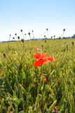 Мак цветет на зеленом поле в солнечном дне Стоковое Изображение RF