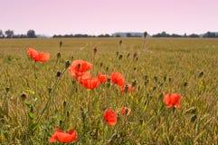 Мак цветет на зеленом поле в солнечном дне Стоковое фото RF
