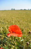 Мак цветет на зеленом поле в солнечном дне Стоковая Фотография