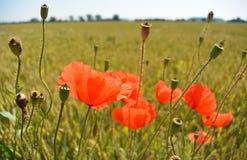 Мак цветет на зеленом поле в солнечном дне Стоковые Фотографии RF