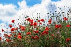 Мак цветет на предпосылке голубого неба на солнечном day_ лета Стоковые Фотографии RF