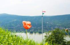 Мак цветет на холме замка Visegrad и венгерском флаге на предпосылке Стоковая Фотография